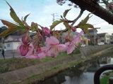 20100227河津桜2