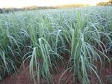20120817サトウキビ畑