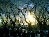 20090406上野公園1
