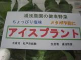 20090521iceplants2