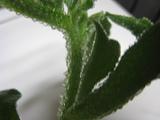 20090521iceplants