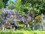 20140423藤の花