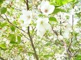 20120430白い桜