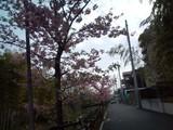 20100227河津桜