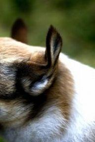 lundehund4
