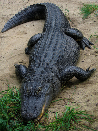 800px-American_Alligator