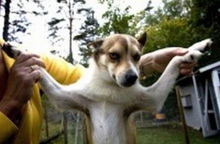 lundhund3