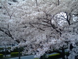 梅光園の桜