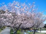 小戸公園の桜