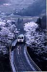 高千穂鉄橋の桜