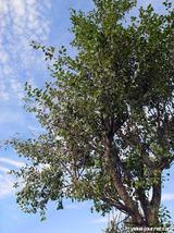 なつはな畑のプル—ンの木