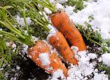雪中にんじん