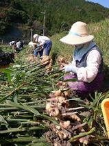 生姜収穫2009.11