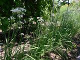 ニラの花畑