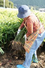 生姜収穫中