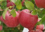 北沢農園のりんごちゃん
