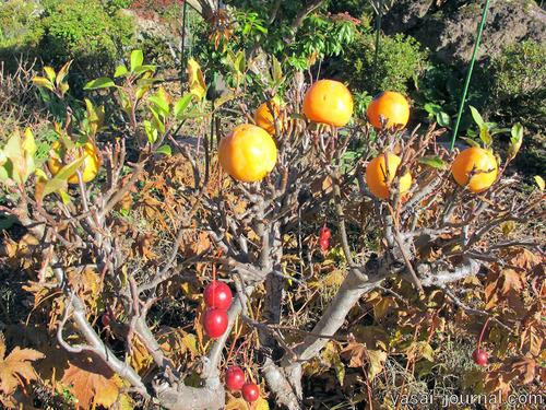 小リンゴの樹に渋柿