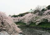 たまねぎと桜☆