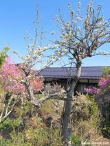 梨の木と古民家
