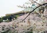 たまねぎと桜☆☆