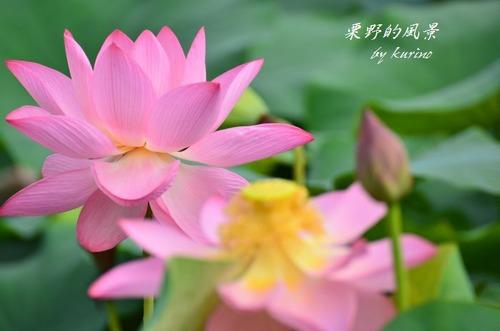 M_hasu04