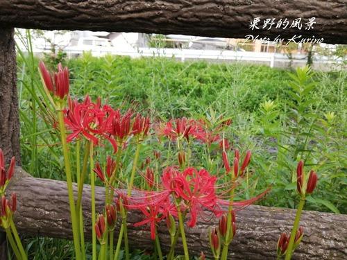 彼岸花21_06