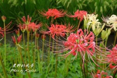 彼岸花21_09