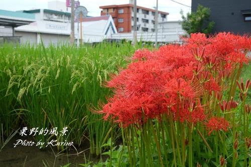 彼岸花21_07