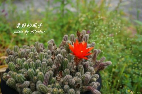 小さなサボテン花01