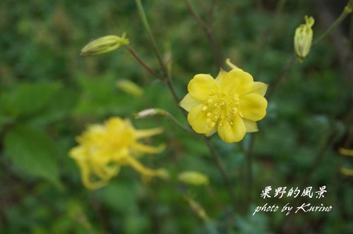 オダマキ黄1