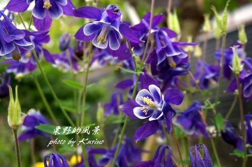 オダマキ紫2