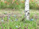 ブログ用:青いケシの花たくさんの様子