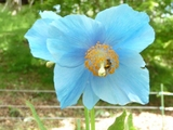 青いケシ2