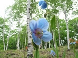 ブログ用:青いケシの花
