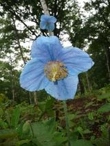 blog青いケシP1050355