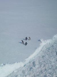 南極ペンギン2013_04