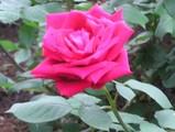 1真紅バラ