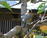 9ー小鳥ヤマガラ