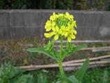 3−菜の花.JPG