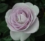 4薄紫バラ