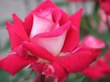 7紅赤バラ