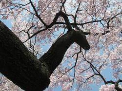 3−高遠桜 032