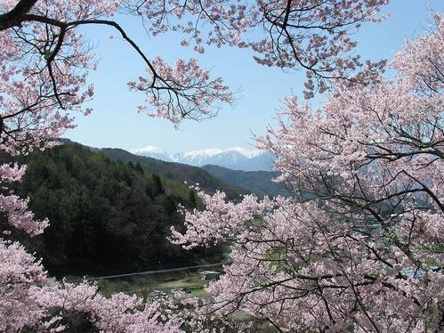 2−高遠桜 066