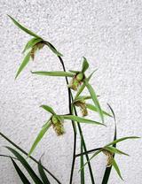 5−カンラン青花.JPG