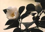 1-早咲き白玉椿.JPG