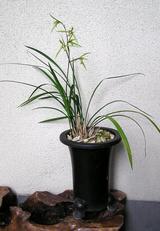 4−カンラン青花.JPG