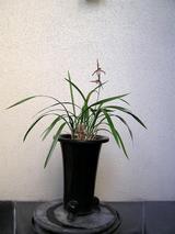 2−カンラン赤花.JPG