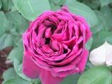 2赤紫バラ