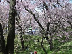 1-高遠城址公園の桜 033