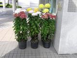 1−菊展示.JPG